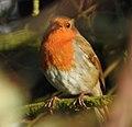 Robin (32893420406).jpg
