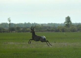Sladkovsky District - Roe Deer in Sladkovo