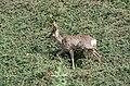 Roe deer Norway May 2019 (7).jpg