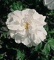 Rosa 'Blanc Double de Coubert'.jpg