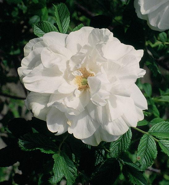 File:Rosa 'Blanc Double de Coubert'.jpg
