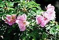 Rosa 'Margueritte Hilling'.jpg