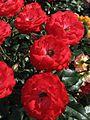 Rosa 'Planten un Blomen' 03.jpg