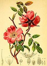 Rosa alpina Atlas Alpenflora.jpg