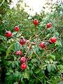 Rosa canina fruit (09).jpg