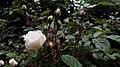 Rosa chinensis in Yerevan 07.jpg