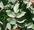 Rosa glauca leaf (06).jpg