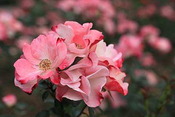 Rose, Hana-Gasumi - Flickr - nekonomania.jpg