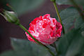 Rose, Orange Splash5.jpg