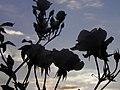Rose (Rosa) et coucher de soleil (1).jpg