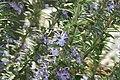 Rosmarinus officinalis Gorizia 0zz.jpg