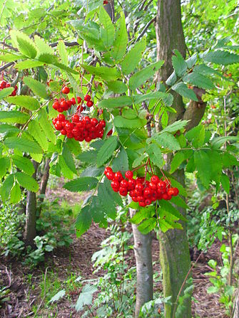Rowan fruit.JPG