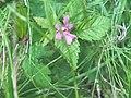 Rubus arcticus 104457829.jpg