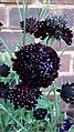 Ruby red scabious.jpg