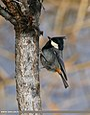 Rufous-naped Tit (Periparus rufonuchalis) (33692205694).jpg