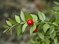Ruscus aculeatus.jpg