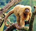 S. flavius SP Zoo 3.jpg