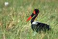 Saddle-billed stork ephippiorhynchus senegalensis.jpg