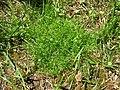 Sagina procumbens plant (01).jpg