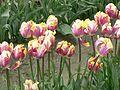 Sakgit Valley Tulip Festival 03.jpg
