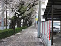 Sakura in Musashino.jpg