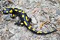 Salamandra salamandra BM3.jpg