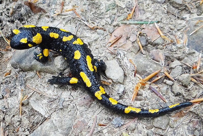 Plik:Salamandra salamandra BM3.jpg