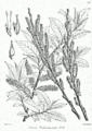 Salix wallichiana Bra61.png