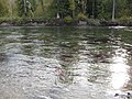 Salmon run at Adams River 2010 (5074671236).jpg