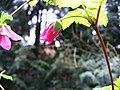 Salmonberry flower1.jpg