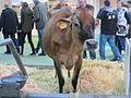 Salon de l'agriculture 2014 - Vache jersiaise (2).JPG