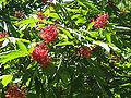 Sambucus racemosa.jpg