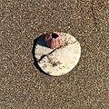 Sand dollar with barnacle at Stinson Beach, California.jpg