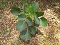 Sapling of (Butea monosperma) at Vivekanada park in Kakinada.jpg