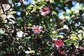 Sasanqua camellia (Camellia sasanqua) (21812284983).jpg