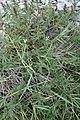 Satureja sp. Lamiaceae 01.jpg