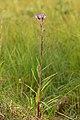 Saussurea alpina esthonica - Eesti soojumikas - Niitvälja soo1.jpg