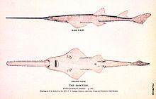 Sawfish - Wikipedia
