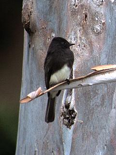 Black phoebe species of bird in the tyrant-flycatcher family
