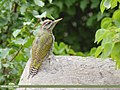 Scaly-bellied Woodpecker (Picus squamatus) (45225571922).jpg