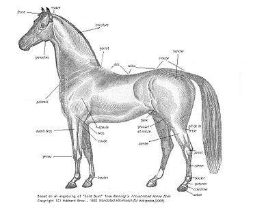 Morphologie du cheval wikip dia - Dessin de cheval magnifique ...