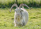 Schokland Netherlands Goat-in-Middlebuurt-02.jpg