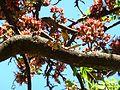 Schotia brachypetala, lente, c, Pretoria.jpg