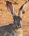 Scrub Hare (Lepus saxatilis) (32944783371).jpg