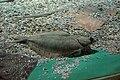 Sea Life Konstanz Plattfisch.jpg