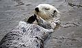 Sea Otter 0.jpg