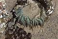 Sea anemone (28758965148).jpg