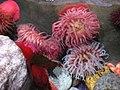 Sea anemone - panoramio.jpg
