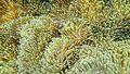 Sea anemones 01 - Cocks Comb Island, Myanmar.jpg
