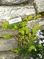 Sedum rupestre 'Angelina' - Tower Hill Botanic Garden.jpg
